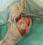 Extracapsular Cranial Cruciate Stabilisation